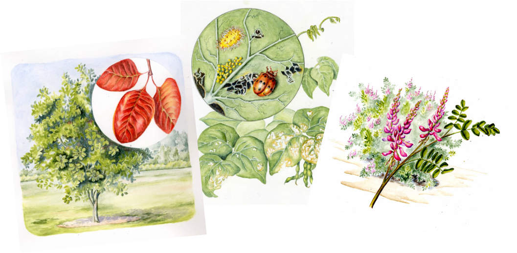Three watercolor paintings of a tree and leaves, beetle and larva, flowering shrub.