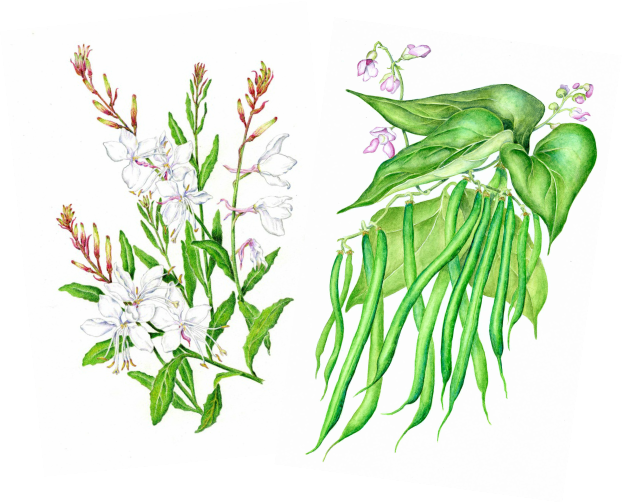 Two colored pencil illustration for seed packets