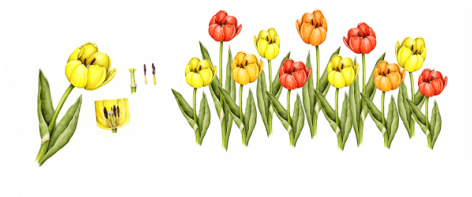 A yellow tulip Botanical Illustration and an image of a row of tulips of varied colors in Red, Orange, and Yellow.