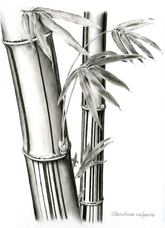 carbon dust drawing of a bamboo plant botanical illustration