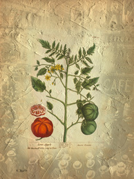 Digital photo collage of a vintage botanical illustration of a tomato by Elizabeth Blackwell coupled with a vintage New York City scene.