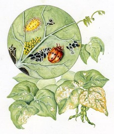 Watercolor Illustration with close up of Mexican bean  beetle, larvae, and eggs with damaged leaves.
